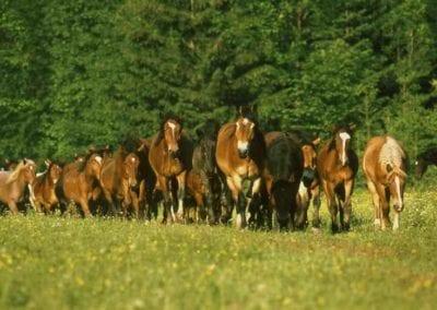 Kone na Muránskej planine